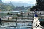 Thắp sáng ánh đèn nuôi cá lồng vùng lòng hồ thủy điện Lai Châu