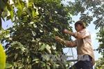 Tây Nguyên tập trung chăm sóc hồ tiêu trong mùa mưa
