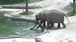Video ấn tượng hai voi lớn cứu voi con khỏi chết đuối