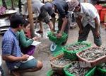 Tôm Việt tìm đường 'bơi' vào các thị trường thế giới
