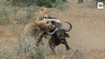 Cậy đông 'ăn hiếp' một con trâu, cặp sư tử bị cả đàn ra dằn mặt