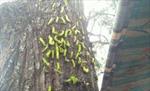 Bình Dương: Hàng nghìn con sâu lạ bu kín thân cây, rơi vào nhà dân và quán ăn