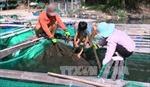 Cá nuôi lồng bè ở Phú Yên chết hàng loạt