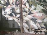 Hơn 400 tấn cá chết sau khi thủy điện xả lũ
