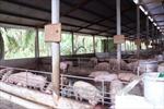 Bạc Liêu khuyến cáo người chăn nuôi thận trọng tái đàn khi giá lợn hơi tăng
