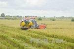 Giá lúa tươi giống chất lượng cao giảm do mưa bão