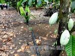 Bình Phước: Ca cao không đậu trái do mưa kéo dài