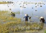 Hàng nghìn ha lúa ở Long An ngập sâu trong nước vì lũ sớm