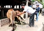 Gia Lai: Trên 550 con bò bị nhiễm bệnh lở mồm long móng