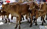 Hỗ trợ 1.000 bò giống sinh sản cho hộ nghèo vùng lũ, thường xuyên bị thiên tai