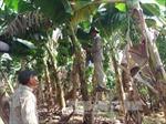 Vừa qua đợt giải cứu vì chuối rớt giá, nông dân lại tiếp tục... trồng vụ mới
