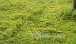 Ca Mau: Mưa lớn khiến hàng nghìn ha lúa hè thu bị thiệt hại