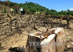 Vụ phá rừng quy mô lớn tại Bình Định: Có biểu hiện né tránh xử lý trách nhiệm