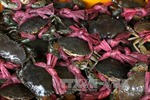 Giá cua biển ở Cà Mau giảm mạnh