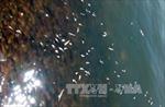 Xác định nguyên nhân cá, sò chết bất thường tại khu vực biển Tuy Phong, Bình Thuận