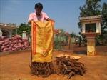 Thương lái Trung Quốc lùng mua rễ, gốc hồ tiêu