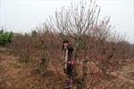 Đào Tết Nhật Tân: Khoe sắc trong giá lạnh