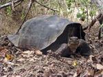 Rùa khổng lồ tại Galapagos chưa tuyệt chủng