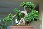 Nghệ nhân thổi hồn cho bonsai