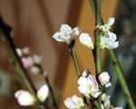 Hoa đào ngày Tết ở Béclin