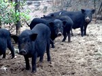 Lợn bản Lào Cai hút hàng