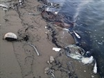 Điều tra nguyên nhân cá chết trên sông Cái Tàu