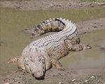 Cá sấu xuất hiện trong khu dân cư ở Khánh Hòa