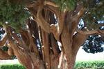 Phục hồi cây cổ xưa từ mô quả 32.000 năm tuổi