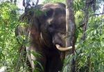 Mong có hàng rào điện tử để... tránh voi