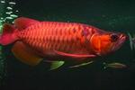 Bắt được cá Rồng 50 kg trên sông Hậu