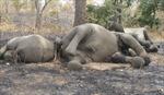 Hàng trăm con voi ở Camơun bị giết để lấy ngà