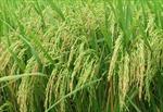 Bình Thuận xây dựng vùng lúa chất lượng cao