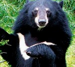 Thả về rừng  7 con gấu ngựa quý hiếm