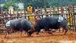 Độc đáo lễ hội chọi trâu vùng Đất Tổ