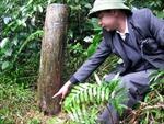 Có hay không việc chặt phá rừng ở Đền Hùng?