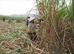 Hàng trăm ha mía ở Thanh Hoá có nguy cơ mất trắng