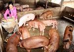 Ngành chăn nuôi lao đao bởi thông tin về chất tạo nạc