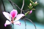 Thanh khiết sắc hoa ban trên đất Hà thành