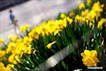 Mùa xuân tươi đẹp ở New York