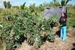 Người đưa giống nhãn Thái về đất Sóc Trăng