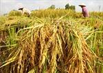 Mua tạm trữ, lúa tồn trong dân vẫn nhiều