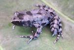 Phát hiện loại ếch chân dài ở châu Phi