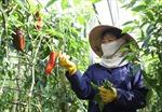 Khó đầu ra, nông dân nản với sản xuất nông sản GAP