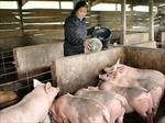 Nỗ lực kiểm soát chất cấm trong chăn nuôi