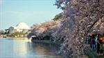 100 năm hoa anh đào Nhật Bản tại Washington D.C