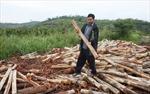 Nan giải tìm đầu ra cho cây keo lai ở Đam Rông (Lâm Đồng)