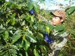 Cây cà phê, hướng thoát nghèo cho đồng bào dân tộc ở Hướng Hóa