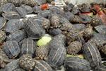 Vận chuyển trái phép hơn 400 con rùa