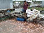Đồng Tháp bác tin cá điêu hồng nhiễm chất cấm