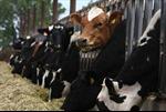 Náo loạn vì bệnh bò điên ở California